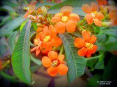 CHIQUITA- BACANA - ( Euphorbia fulgens ) - Meu Cantinho Verde