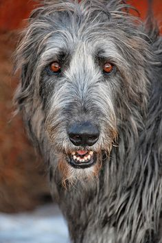 Irish Wolfhound named Aodhan (pronounced Aiden) by LesPaulSupreme Big Dogs, I Love Dogs, Cute Dogs, Dogs And Puppies, Irish Wolfhound Puppies, Irish Wolfhounds, Beautiful Dogs, Animals Beautiful, Scottish Deerhound