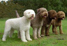 Four Cute Lagotto Romagnolo Dogs