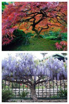Een prachtige Japanse esdoorn of wisteria om onder te kunnen zitten en lantarens aan te hangen.