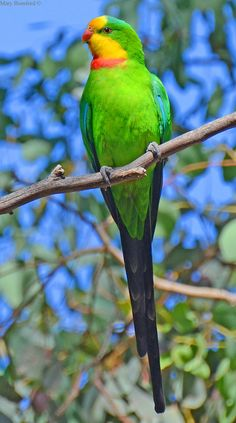 Superb Parrot(Polytelis swainsonii) found in SE Australia