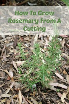 Growing Rosemary From A Cutting -