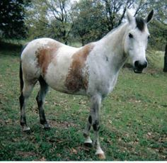 EA VIPER #512043 (Marlboro SWSB x EA Vogue, by Granted) 1994 grey gelding bred by Empress Arabians