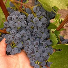 And the grapes grow sweet. Almost ready! #napaharvest