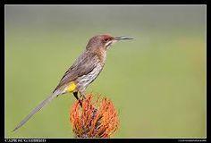 Image result for sugarbird Garden Birds, South Africa, Cape, Mantle, Cabo, Cloak