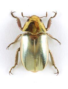 featherandmoss:    Jewel scarab beetle (Chrysina strasseni) from Honduras.