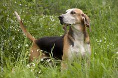 Anglo-Français de Petite Vénerie #Dogs