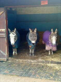 Donkeys keeping dry and warm.
