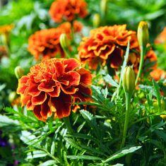 L'oeillet d'Inde est une plante utile au potager. Son odeur éloigne les insectes ravageurs comme les pucerons, les altises, les aleurodes, la mouche de la carotte (voir photos ci-dessous). Ses racines éloignent les nématodes, des vers microscopiques qui s'attaquent aux racines des plantes et les affaiblissent. Il est donc bénéfique l'ajouter au jardin, en association par exemple avec les tomates, la carotte, le poireau. Semer sous abri en février-mars, repiquer une première fois en avril…