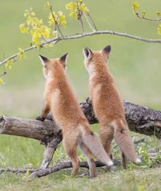 Young red foxes.