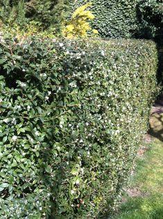 Osmanthus x burkwoodii London) Osmanthus Fragrans, Evergreen Hedge, Garden Compost, Gardening, Garden Screening, Living Fence, Home Garden Design, Garden Shrubs, Organic Herbs
