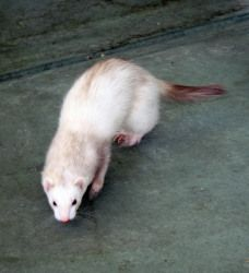 Vixen is an adoptable Ferret Ferret in Indianapolis, IN. Vixen is a pretty little girl--an unusual color of light cinnamon. She and Vlad were surrendered and are now anticipating a forever home with l...
