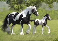 Gypsy vanner with her foal.