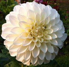Brookside Snowball Dahlia