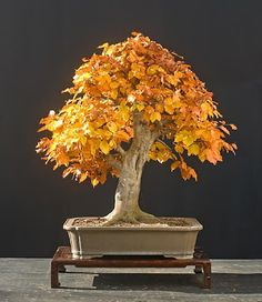 Walter Pall Bonsai Adventures: fall pictures - part 18