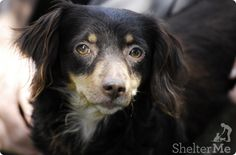 ●9•23•16 SL!●Chaca  45 DAYS AT THE SHELTER  ## Chaca (A4981317)  Dachshund  2 year old adult female