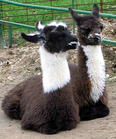 Baby llama best buddies Llamas, Baby Llama, American Animals, Llama Alpaca, Camels, Adorable Animals, Animal Kingdom, Carrie, Animals And Pets