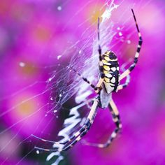 Beneficial Garden Spider -  grow to about an inch long and will dine on a wide variety of flying prey including grasshoppers, beetles, wasps, and moths.