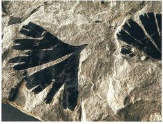The carbonised fossil leaves of a Jurassic Ginkgo tree.  The remarkable genome of the Ginkgo biloba has been sequenced.