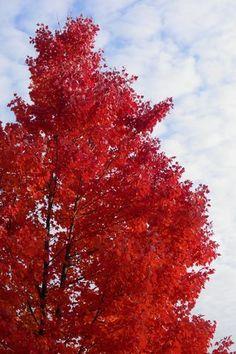Red Maple Tree   eBay