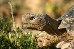 Tortoise head - Tortoise - Wikipedia, the free encyclopedia