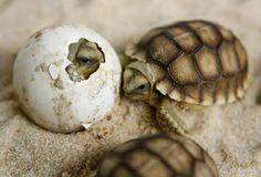 Uma tartaruga-de-esporas-africana (Geochelone sulcata) saindo do ovo.  Biologia-Vida {F.B}