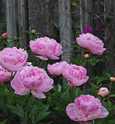 Paeonia 'Le Perle' in June