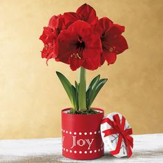 """Single Red Amaryllis in Joy Gift Box:   Such big blooms burst forth from this festive """"Joy"""" hat box! Our Holiday Amaryllis is the perfect complement to any seasonal decor and gives you an ideal """"emergency"""" gift to have on hand for drop-ins and parties. It adds instant color and cheer, growing quickly and blooming for many weeks. Don't launch the holiday season without this Amaryllis! -- This product is no longer available, however click the image to see this year's Amaryllis Bulb Gifts!"""