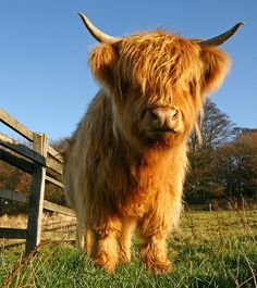 A Scottish Highland cow. This is a short, shaggy, and hardy breed known for their sweet temperment. (Usually raised to slaughter, but they can make pets and will happily follow their people around.) Photo by Royston Vasey