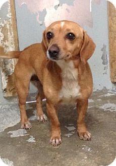 Calhoun, GA - Dachshund Mix. Meet 1627, a dog for adoption. http://www.adoptapet.com/pet/12084956-calhoun-georgia-dachshund-mix