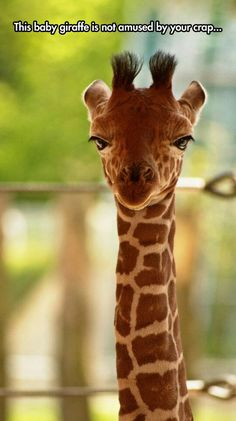 Straight face giraffe