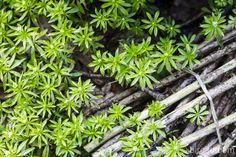 Waldmeister Herbs, Syrup, Drinking, Corning Glass, Essen, Herb, Medicinal Plants