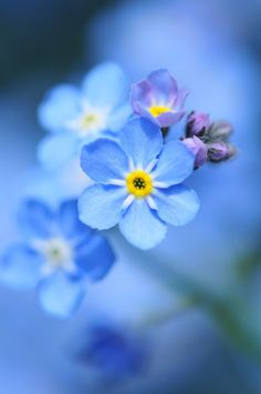 58 Best Forget Me Not Images Blue Flowers Beautiful Flowers Blue