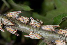 Mystery Critter Revealed: Treehopper