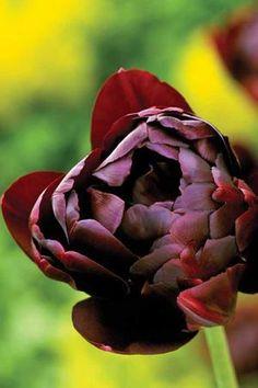Tulip 'Black Hero'