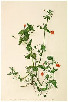 Watercolour drawing of Scarlet Pimpernel or Poor Man's weatherglass Anagallis arvensis. Signed M R Dickinson.