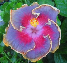 """Night Runner"" Hibiscus. Such a beautiful display of colors and design!!"