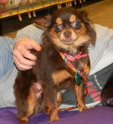 Blue is an adoptable Chihuahua Dog in Detroit, MI. Blue came in with, brown and we would like them to go together, Owner turn in, they wouldn't stay off the furniture. and they barked to much at the k...