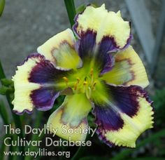 Daylily Heavenly Earthquake