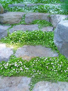 "Pratia or White Star Creeper is a herbaceous perennial groundcover used as a lawn substitute, as fillers in pathways, in rock gardens and in borders. A profusion of starry white flowers bloom spring through summer, followed by globular, reddish-purple fruit in autumn, attracting birds. This plant will tolerate wet or dry conditions in sun or shade. Low growing (2-3"" tall). Zones 5-10"