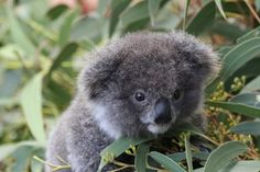 Archer the Koala Whatever. Hungry Mungry.