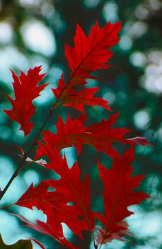 Reddish leaves by Gerd Moors on 500px