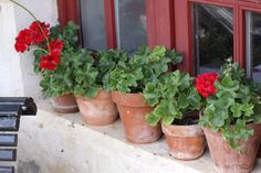 geraniums in windowsill - Garden Plants Potted Geraniums, Red Geraniums, Potted Plants, Little Gardens, Back Gardens, Garden Plants, Indoor Plants, Easy To Grow Houseplants, Flower Boxes
