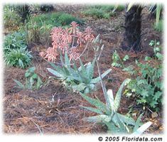 soap aloes ...  Interesting enough at first, but not the prettiest of aloes in bloom. Reminds me of the bloom on Kalanchoe daigremontia. Both bloom in our winter. If you plant them together, plant some color change or challenge succulents.