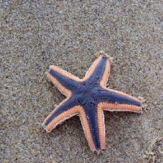 Starfish on the beach in OBX