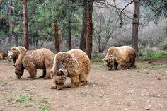 Anne boz ayılar, çiftleşme dönemlerinde yavrularını yabancı erkek ayılara karşı korumak için insanları bir kalkan gibi görerek onlara yaklaşıyorlar. Detaylar ajanimo.com'da.. #ajanimo #ajanbrian #hayvan #animal #ayı #bear