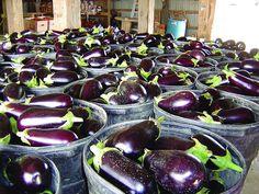 Garber Farm eggplant - www.metroparks.or...