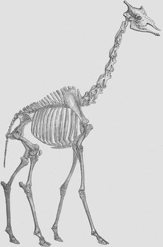 Vintage drawing of a giraffe skeleton.