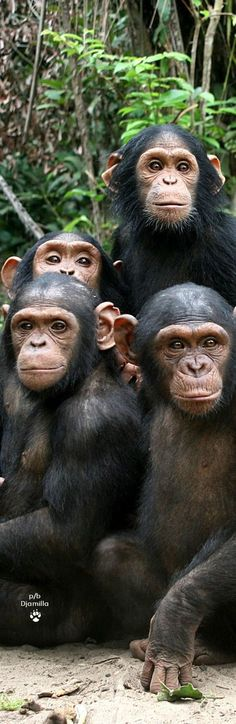 Chimpanzees Family Portrait - Funny Selfies - Funny Selfies images - - Chimpanzees Family Portrait The post Chimpanzees Family Portrait appeared first on Gag Dad. Primates, Mammals, Cute Baby Animals, Animals And Pets, Funny Animals, Beautiful Creatures, Animals Beautiful, Regard Animal, Monkey See Monkey Do