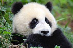 Our Favourite Photos of Pandas at Bifengxia Panda Base - FreeYourMindTravel